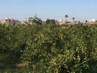 tractaments agricoles camps cooperativa algemesi ajuntament la veu d'algemesi